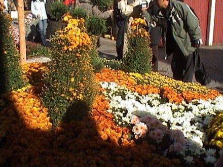 Chrysanthemen - Chrysanthema