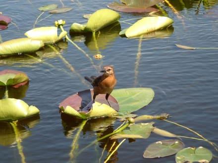 Vogel in den Everglades - Everglades National Park