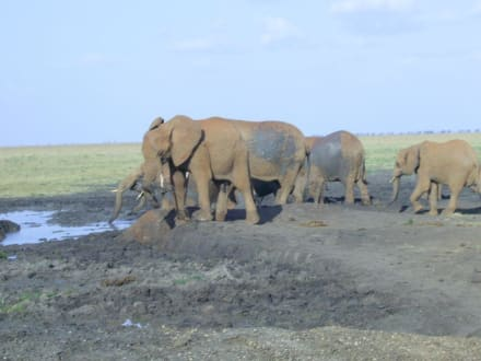 Am Wasserloch - Amboseli Nationalpark
