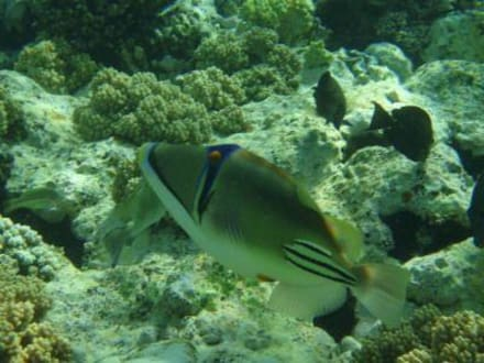 Picasodrücker - Tauchen Makadi Bay