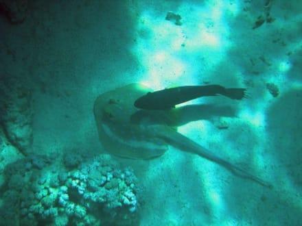 Blaupunktrochen mit Fisch - Schnorcheln Sharm el Sheikh