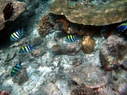 Faszinierende Unterwasserwelt - Schnorcheln Ari Atoll
