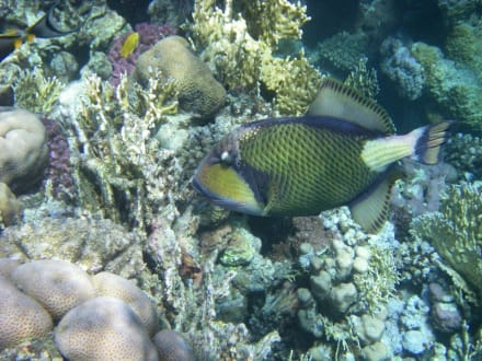 Im Korallengarten - Schnorcheln Coraya Bay Marsa Alam