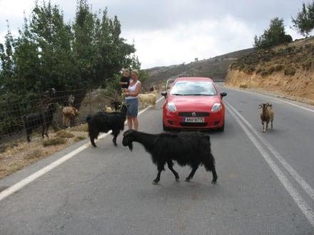 Ziegen auf der Straße - Hochebene von Lasithi
