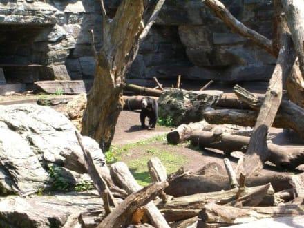 Bär im Zoo - Zoologischer Garten Köln