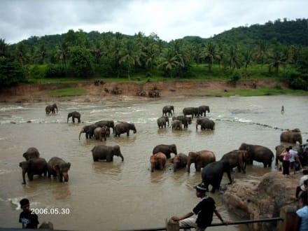 Elefantenweisenhaus - Elefantenwaisenhaus Pinnawela