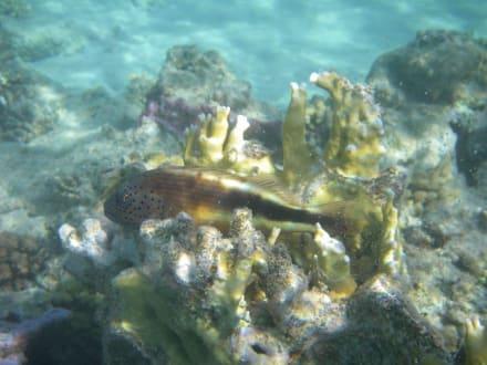 Fisch - Schnorcheln Marsa Alam