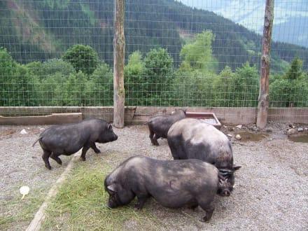 Schweine - Wildpark Aurach