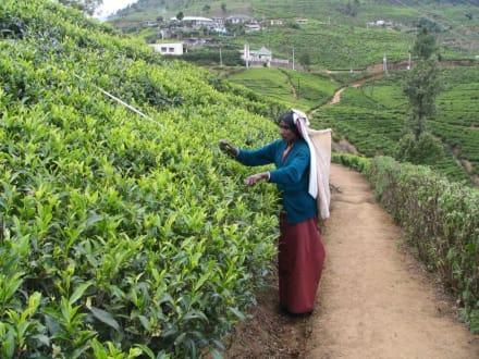 Teeplantage - Tour & Ausflug