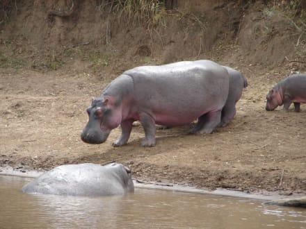 Flusspferd am Mara River - Masai Mara Safari