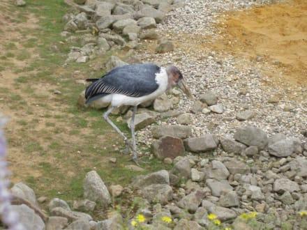 Herr Marabu - ZOOM Erlebniswelt Gelsenkirchen (Zoo)
