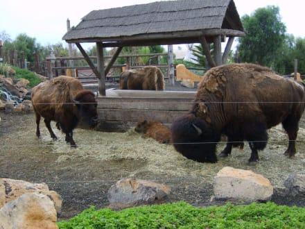 Nordamerikanische Bison. - Reitschule Rancho Texas