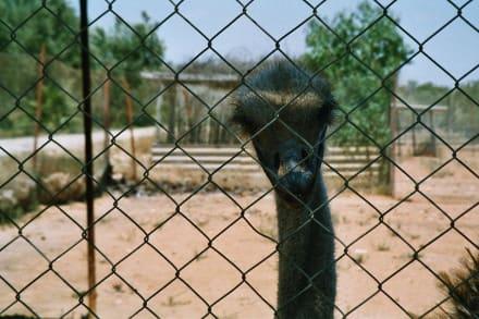 Kamelausflug zur Straußenfarm - Straußenfarm Sousse