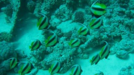 Die Logofische des JDC - Jasmin Diving Center
