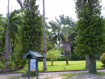 Fächerpalme - Shaw Park Garden