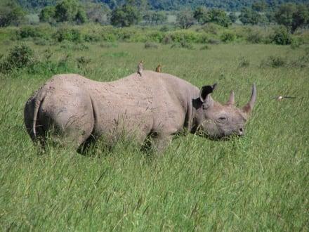Schwarzes Nashorn - Masai Mara Safari