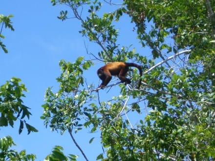 Brüllaffee im Orinoco Delta - Orinoco Delta