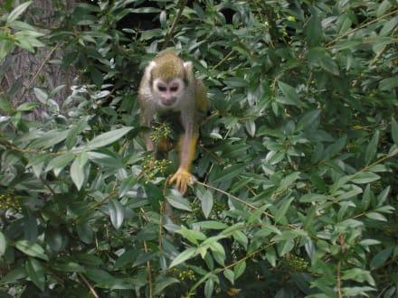Äffchen im Baum - Tierpark Hellabrunn