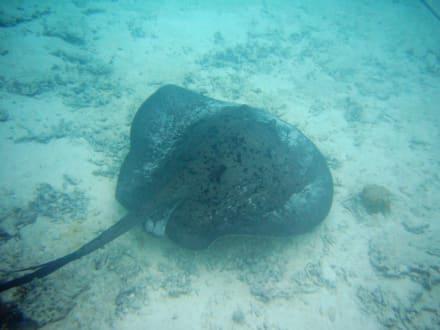 Unterwasserwelt beim Schnorcheln - Schnorcheln Hausriff Summer Island Village Nord-Malé-Atoll