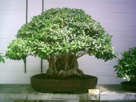 Bonsaimuseum - Museo de Bonsai