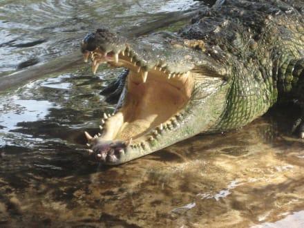 Krokodil - Samui Crocodile Farm