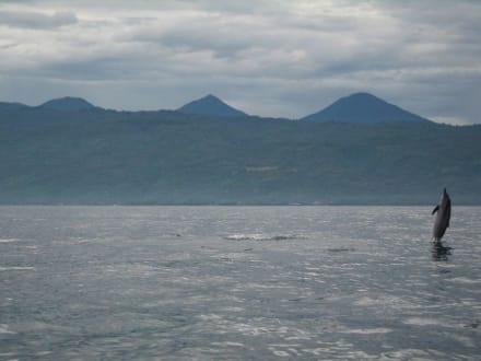 Springender Delphin III - Delfin Tour Lovina