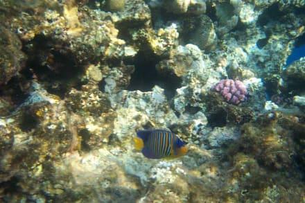 Kaiserfisch - Schnorcheln Sharm el Sheikh