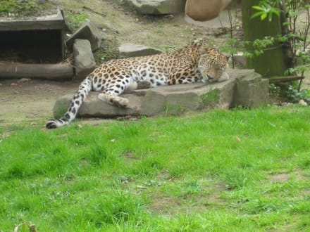 Leopard - Zoologischer Garten Köln