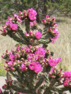 Blühende Kakteen im Pecos Historical Park - Pecos National Historical Park