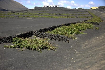 Weinanbau auf der Lava - Weinanbaugebiet La Geria