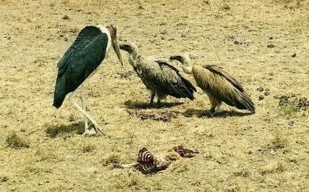 Aasvertilger - Masai Mara Safari