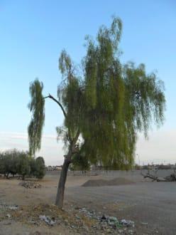 Spezielle Bäume auf dem Weg - Nuweiba
