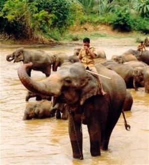 Elefantenwaisen - Elefantenwaisenhaus Pinnawela