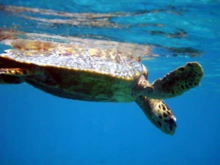 Schildkröte bein auftauchen - Schnorcheln Süd-Malé-Atoll