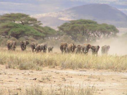 Elefantenherde - Amboseli Nationalpark