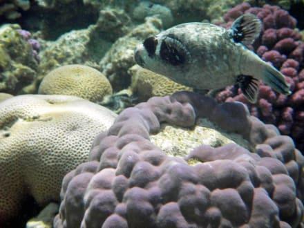Maskenkugelfisch - Schnorcheln Sharm el Sheikh