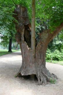 Der Baum im Baum - Pfaueninsel