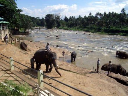 und alle folgen ihm - Elefantenwaisenhaus Pinnawela