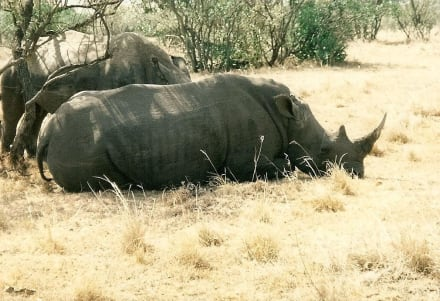 Nashörner - Masai Mara Safari