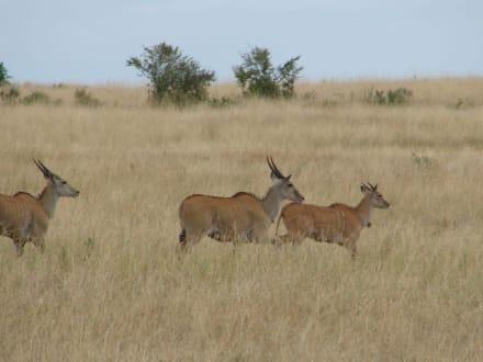 Kuhantilopen - Masai Mara Safari