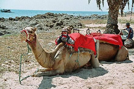 Kameltour - Kamelreiten Zarzis