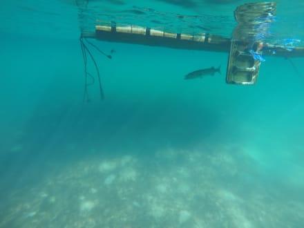 Barracuda im Xel Hal Tulum - Xel-Ha Nationalpark