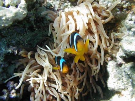 Anemonenfische - Tauchen Makadi Bay