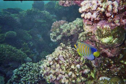Kaiserfisch - Tauchen Marsa Alam