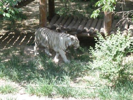 Weisser Tiger - Peking Zoo