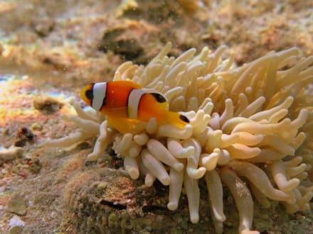 Annemonenfisch am Hausriff Hotel Carnelia Beach Resort - Tauchen Marsa Alam