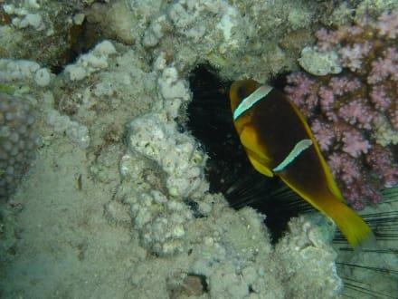 Findet Nemo - Tauchen Hurghada