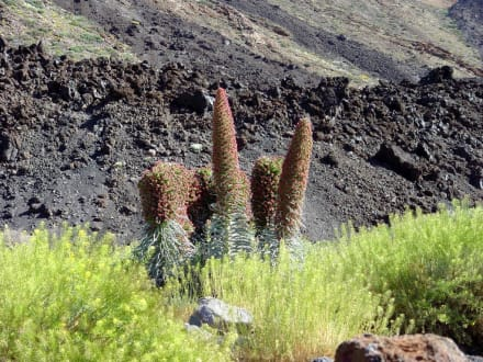 Teide Pflanzen Welt - Teide Nationalpark