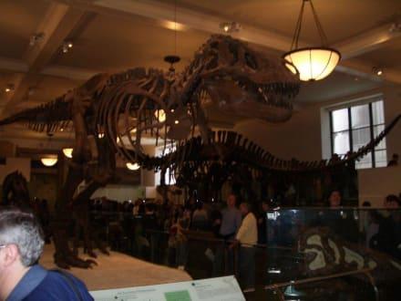 Dinos in Lebensgröße  - Museum of Natural History