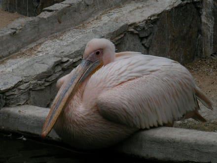 Pelikan im Palmitos-Park - Palmitos Park